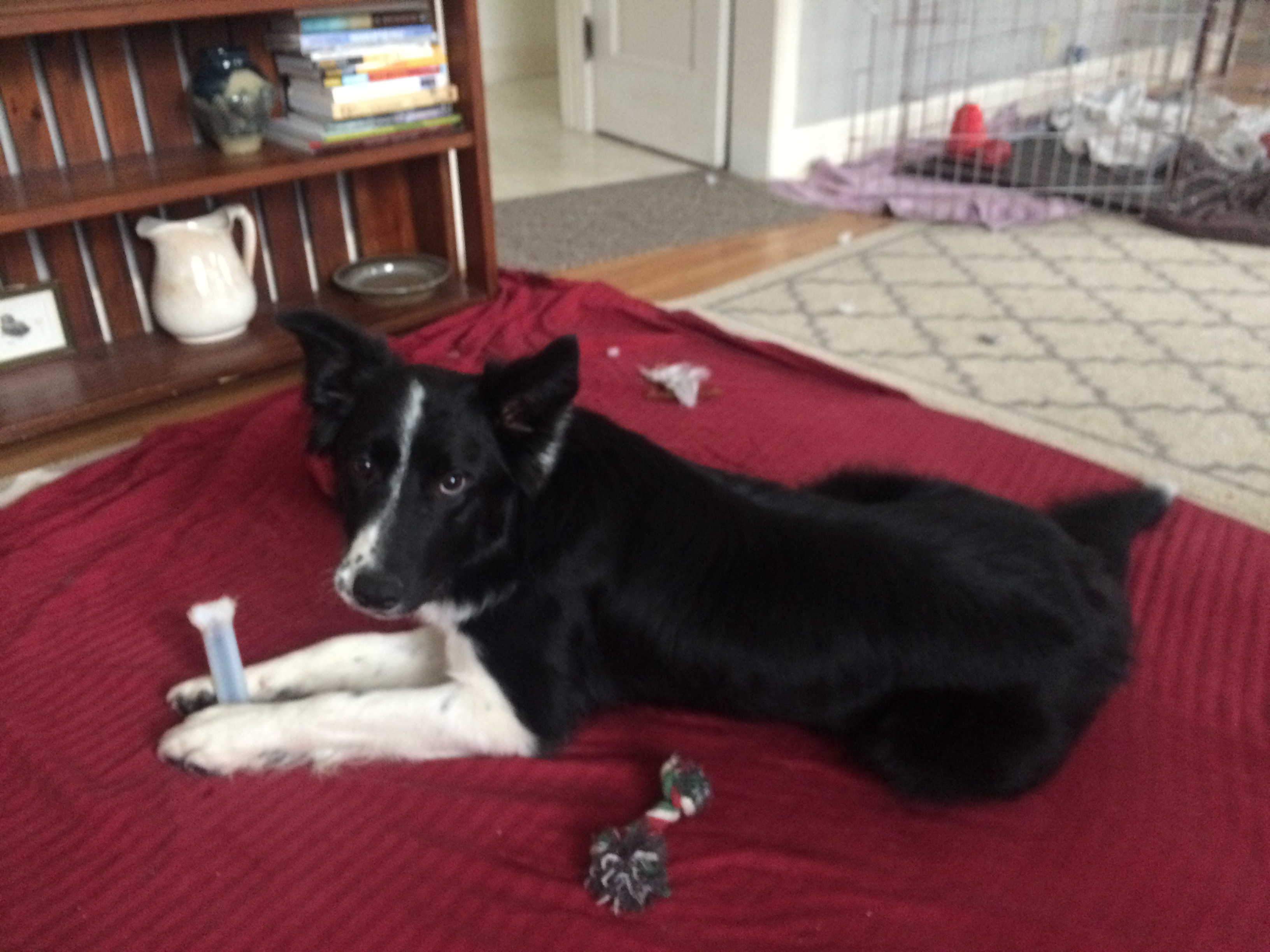 It's Hard To Get Pictures Of Him That Aren't Blurry Because He Is Usually  On The Move Outside The Crate He Is Still Not Lunging At Cars As They Pass  By,